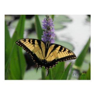 Swallowtail on Pickerel-weed Postcard