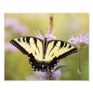 Swallowtail on Wild Bergamot Photo Print