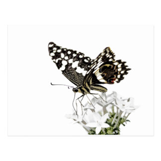 Swallowtail perched in white postcard