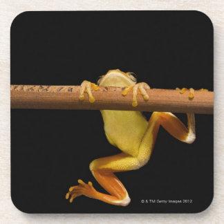 Swamp frog (Limnonectes Leytensis) Coaster