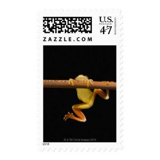 Swamp frog (Limnonectes Leytensis) Postage