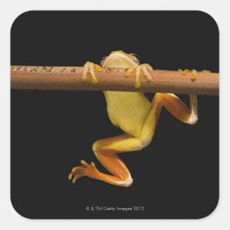 Swamp frog (Limnonectes Leytensis) Square Sticker