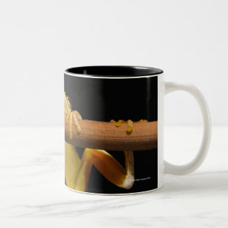 Swamp frog (Limnonectes Leytensis) Two-Tone Coffee Mug