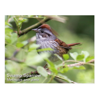 Swamp Sparrow Postcard