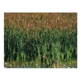 Swamps Reeds Postcard