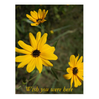 swampSunflowers_3 Post Card