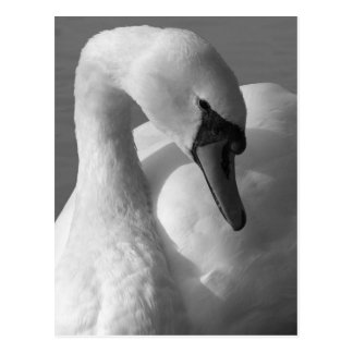 Swan B&W Postcard
