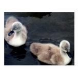 Swan babies - postcard