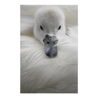 Swan, Beautiful White Feathers, Beauty Comfort Flyer