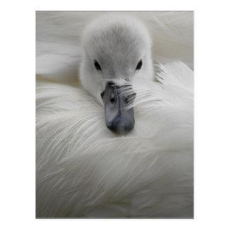Swan, Beautiful White Feathers, Beauty Comfort Postcard
