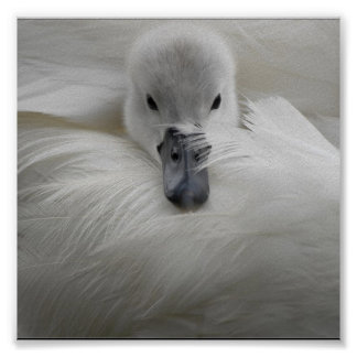 Swan, Beautiful White Feathers, Beauty Comfort Poster