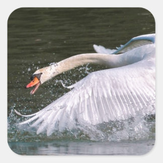 Swan chasing another swan square sticker