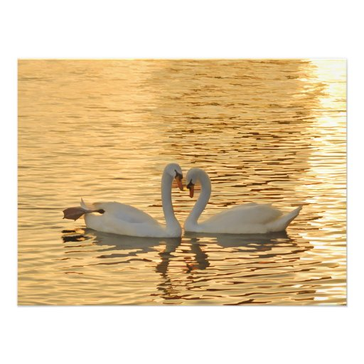 Swan Couple Meeting at Sunset Photograph