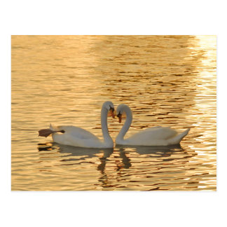 Swan Couple Meeting at Sunset Photograph Postcard