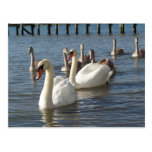 Swan Family Post Card