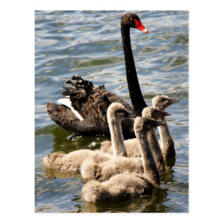 Swan Family Postcard