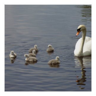Swan Family with mom and ducklings or cygnets Poster
