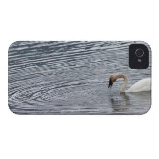Swan Feeding iPhone 4 Cover