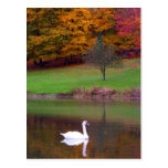 Swan in autumn postcard