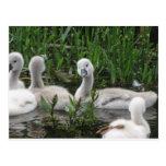 Swan in Wonder Postcard