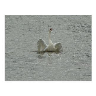 Swan-lifting wings postcard