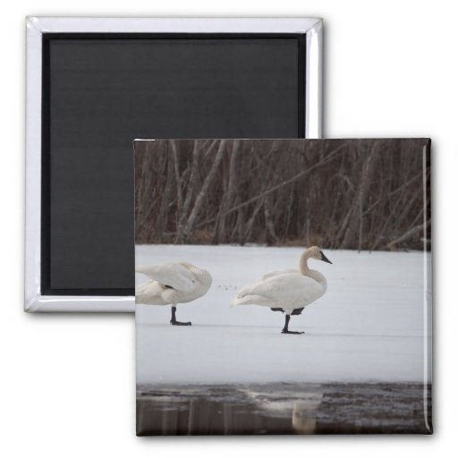 Swan Magicians Fridge Magnet
