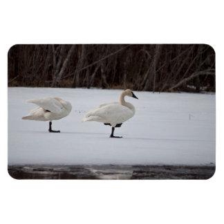 Swan Magicians Magnet