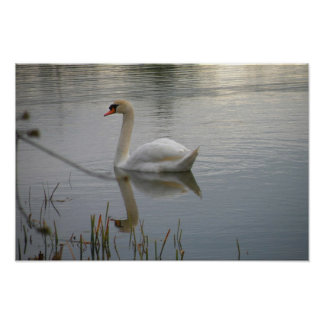 Swan on Lake Logan Poster
