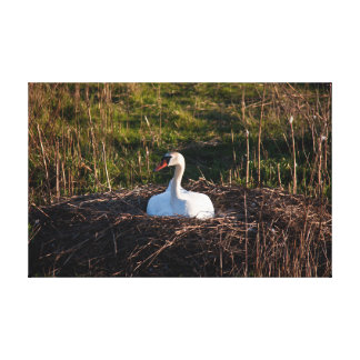 Swan on nest canvas print