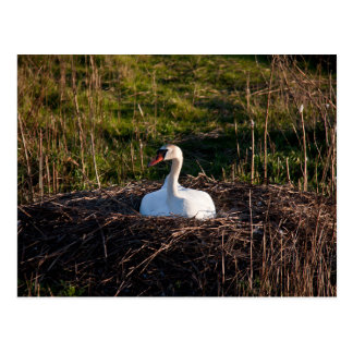 Swan on nest postcard