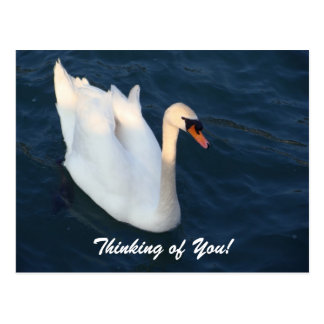Swan - Postcard