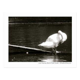 Swan Preening Photo Postcard By Brad Hines