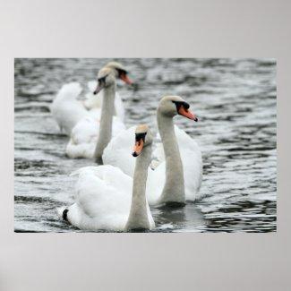 Swan Print print