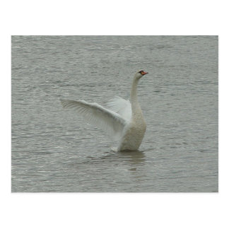 Swan-ready to fly postcard