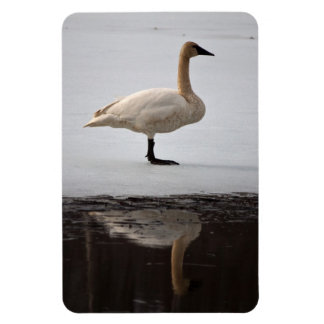 Swan Reflected Magnet