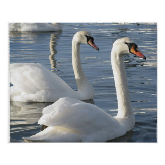 Swan Reflections Poster