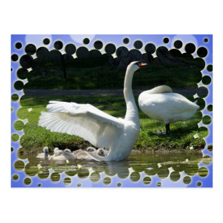 SWAN WINGS SPREAD WIDE WITH FAMILY POSTCARD