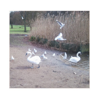 Swans 4 with gulls canvas print