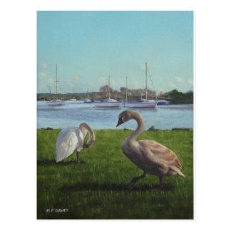 swans at Christchurch harbour Postcard