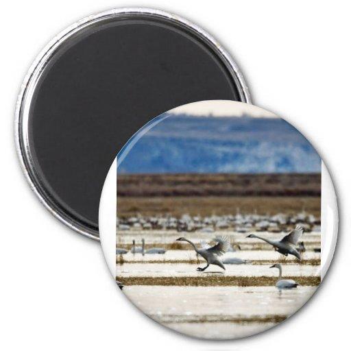 Swans at Klamath Refrigerator Magnets