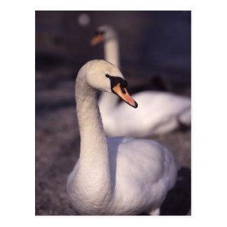 Swans at Lake Windermere Postcard