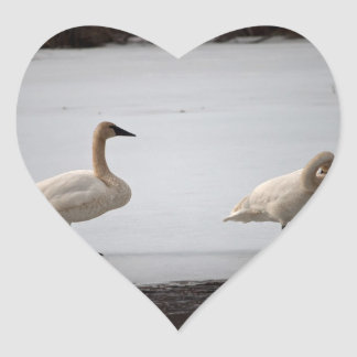 Swans Grooming at Water's Edge Heart Sticker