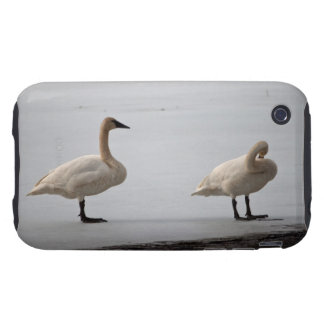 Swans Grooming at Water's Edge iPhone 3 Tough Case
