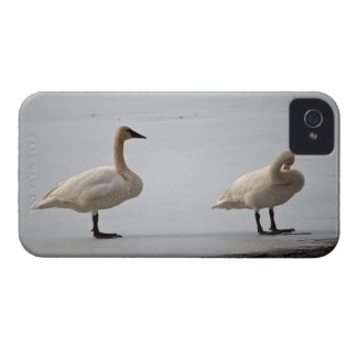 Swans Grooming at Water's Edge iPhone 4 Case