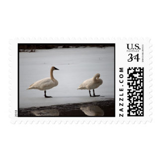 Swans Grooming at Water's Edge Postage