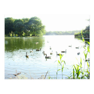 Swans in the Lake Postcard