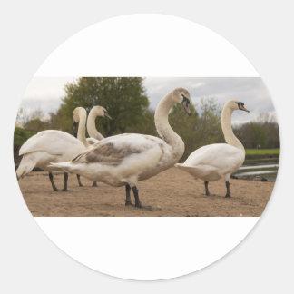 swans.jpg classic round sticker