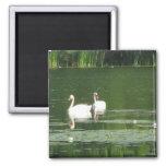Swans Morning Swim Magnet