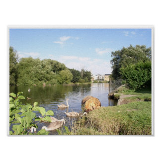 Swans on River Liffey Dublin Ireland Posters