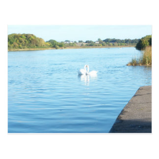 Swans on the River Corrib Postcard